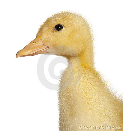 Free Close-up Of Duckling, 1 Week Old Stock Photo - 20334810