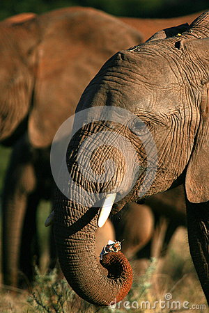 Free Close Up Of Elephant Feeding With Its Trunk. Stock Images - 25157534