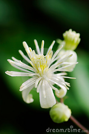 Free Close Up Of Evergreen Clematis (Clematis Vitalba) Flower Royalty Free Stock Image - 1871946