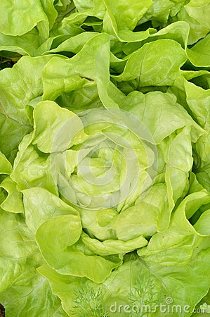 Free Close-up Of Green, Fresh Lettuce. Royalty Free Stock Photography - 42491067