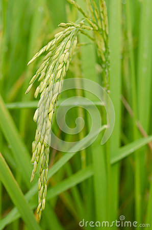 Free Close Up Of Green Jasmine Rice Royalty Free Stock Photography - 26798357
