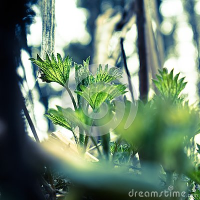 Free Close Up Of Green Young Nettle Growing In The Forest. Stock Photos - 116518983