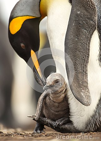 Free Close Up Of King Penguin Chick Sitting On The Feet Of Its Parent Royalty Free Stock Images - 110683499