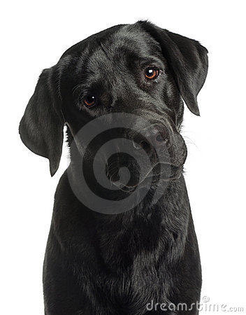 Free Close-up Of Labrador Retriever, 10 Months Old Royalty Free Stock Photo - 20377275