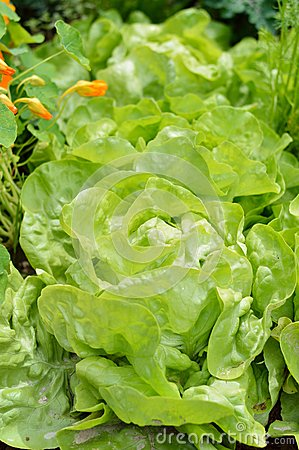 Free Close-up Of Lettuce In A Garden Field. Stock Photos - 42491043