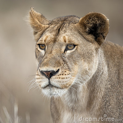 Free Close-up Of Lioness In Serengeti, Tanzania, Africa Royalty Free Stock Images - 15288079