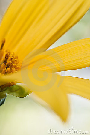 Free Close Up Of Local Sunflower Royalty Free Stock Image - 16100346