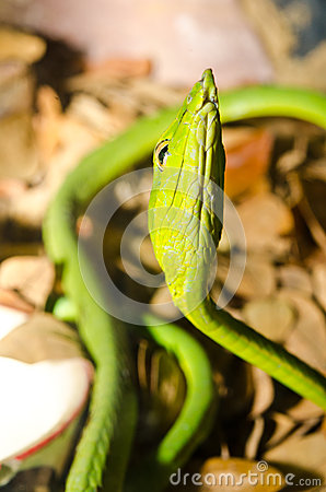 Free Close Up Of Long-Nosed Green Snake Stock Photos - 28096743
