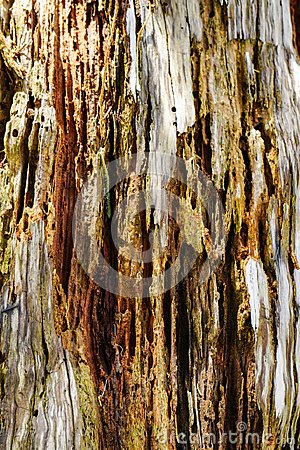 Free Close-up Of Pine Tree Bark In Forest Stock Image - 99374751