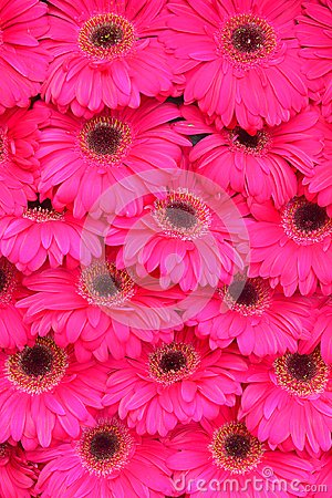 Free Close Up Of Pink Gerbera Flower As Background Image Royalty Free Stock Photography - 119653707