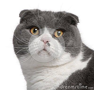 Free Close-up Of Scottish Fold Cat Royalty Free Stock Photo - 18444645