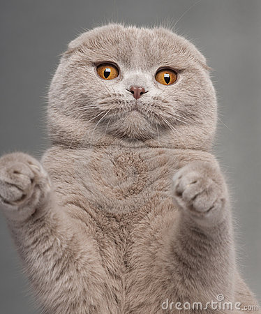 Free Close-up Of Scottish Fold Cat With Paws Up Royalty Free Stock Photography - 19573507