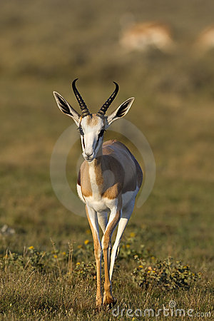 Free Close-up Of Springbok Walking In Grass-field Royalty Free Stock Photography - 19031257