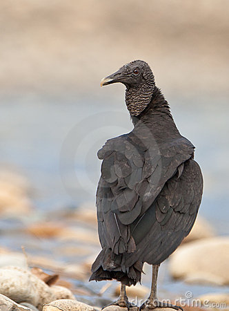 Free Close-up Of The Black Vulture Royalty Free Stock Image - 20491586