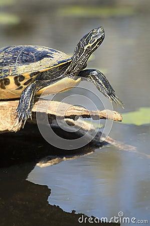 Free Close-up Of Turtle Sunning Stock Image - 4713481