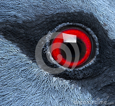 Free Close Up Of Victoria Crowned Pigeon S Eye Stock Images - 30420864