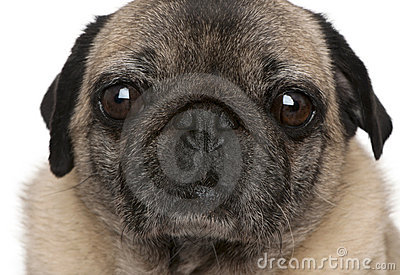 Close-up of old pug, 6 years old