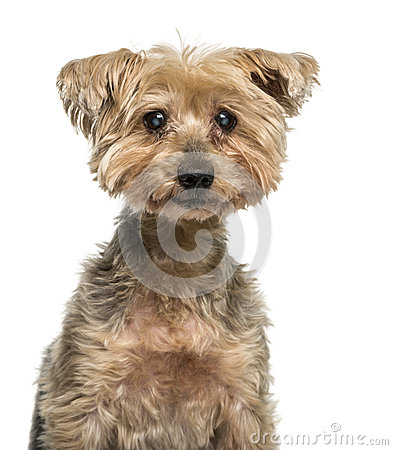 Close-up of an old Yorkshire Terrier with cataract (16 years old