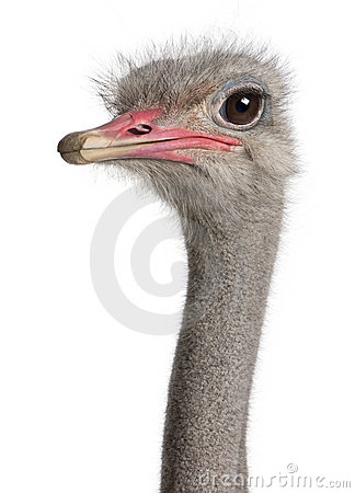 Free Close-up On A Ostrich S Head Stock Photos - 9332823