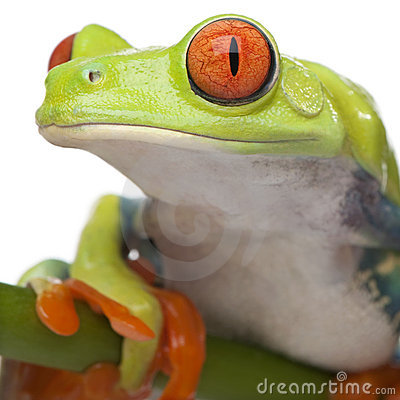Free Close-up On A Red-eyed Tree Frog - Agalychnis Call Royalty Free Stock Photo - 9332165
