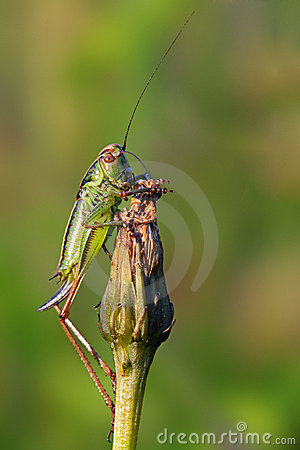 Free Close Up On Grasshopper Royalty Free Stock Images - 21053009
