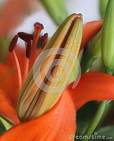 Close up of orange lily bud