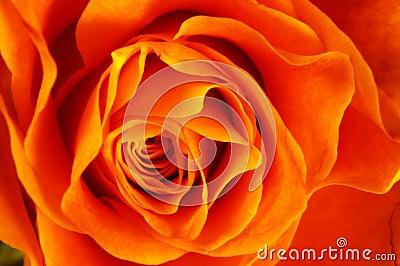 Close up of orange rose
