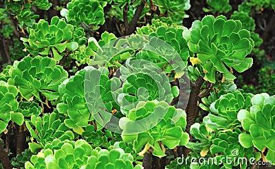 Close up of an ornamental Aeonium - succulent
