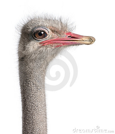 Close-up on a ostrich s head