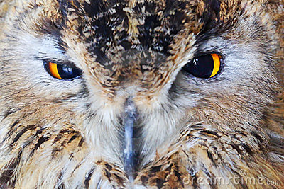 Close-up owl head