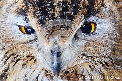 Close-up owl head