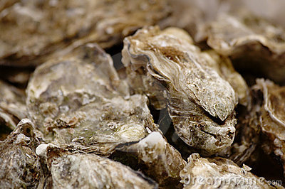 Close-up of oysters
