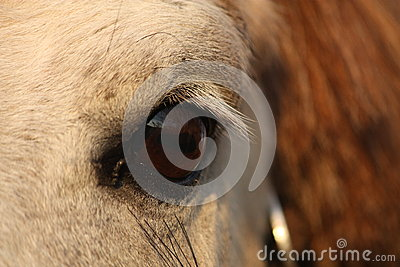 Close up of palomino horse eye