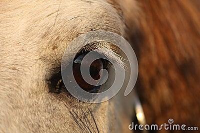 Close up of palomino horse eye