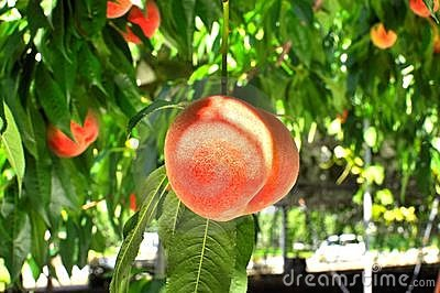 Close up of a peach on a tree