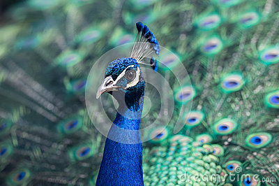 Close Up Of Peacock Free Public Domain Cc0 Image