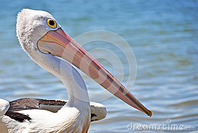 A close up of pelican on beach in Australia