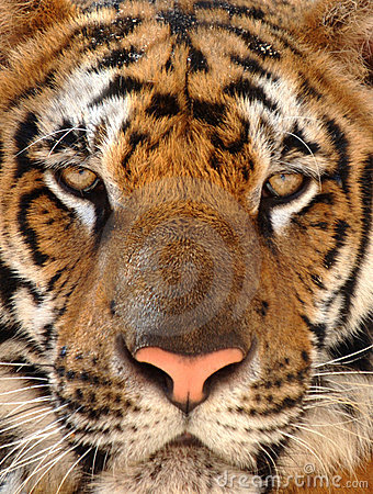 Close up penetrating eyes Bengal tiger, Thailand