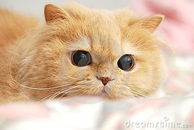 Close up persian cat