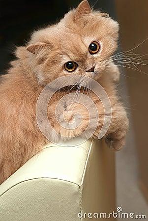 Close-up persian cat