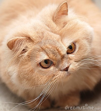 Close-up persian cat