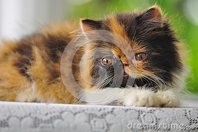 Close-up of a  persian kitten