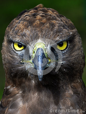 Free Close-up Photo Of A Martial Eagle. Stock Photo - 45741360