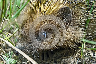 Close up picture of a hedgehog hiding in the grass