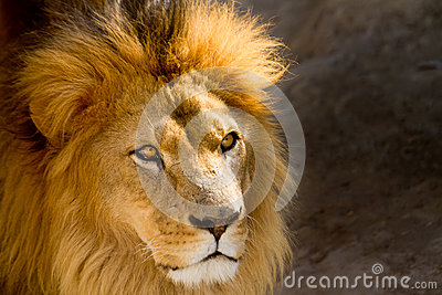 Close Up picture of a male lion staring