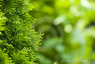 Close-up of pine tree branches