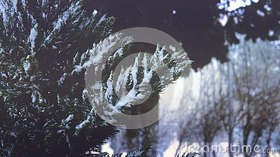 Close-up Of Pine Trees In Forest During Winter Free Public Domain Cc0 Image