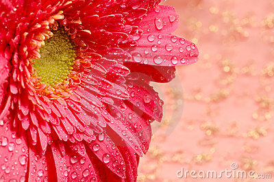 Close-up of a pink daisy in a silk golden background