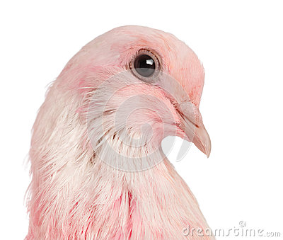 Close-up of a Pink Dove