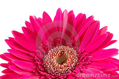 Close up of pink gerber daisy
